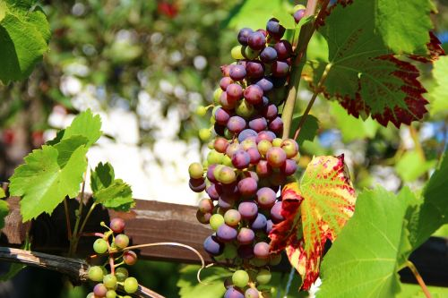grapes wine fruit