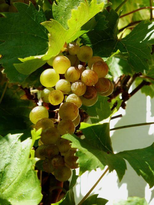grapes autumn vine