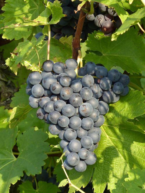 grapes blue grapevine