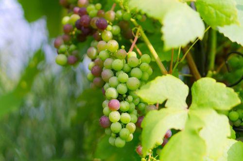 grapes green grapes green