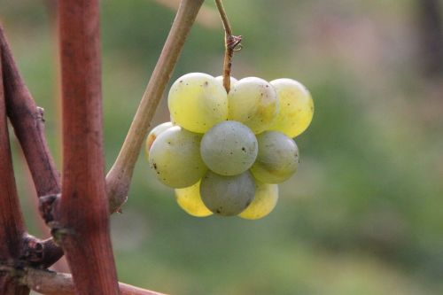 grapes chardonnay nature
