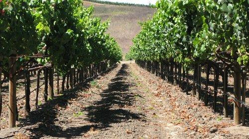 grapes  grapevine  vineyard