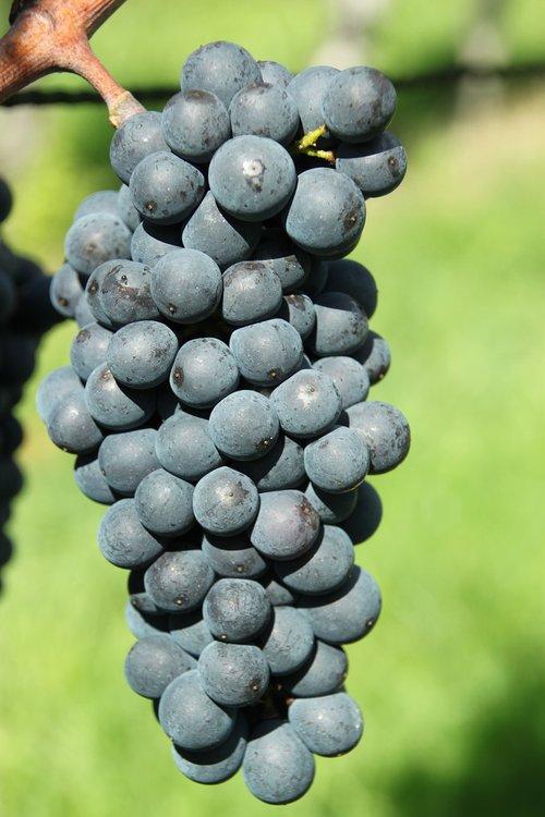 grapes  blue burgundy  ripe grapes