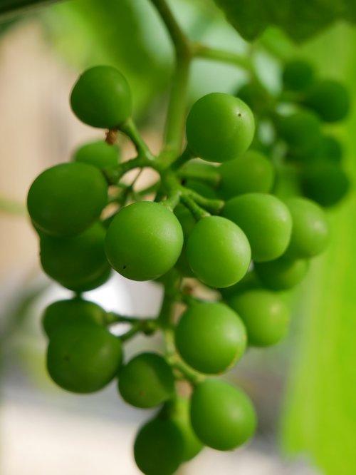 grapes  green  green grapes