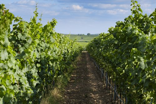 grapes  vines  vine