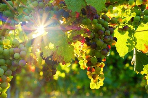grapes  sun  sunbeam