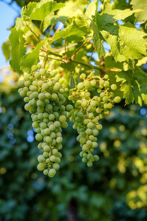 grapes  fruit  vines