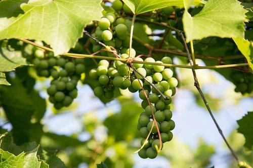 grapes  dacha  leaves