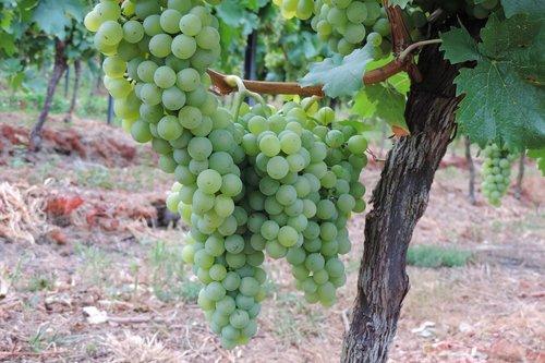 grapes  vines  fruit