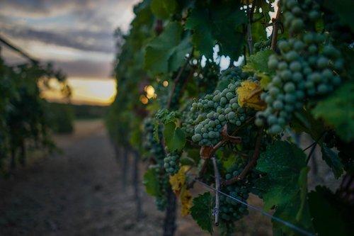 grapes  grapevine  fruit