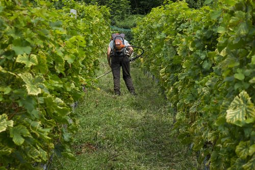 grapes  viticulture  winemaker
