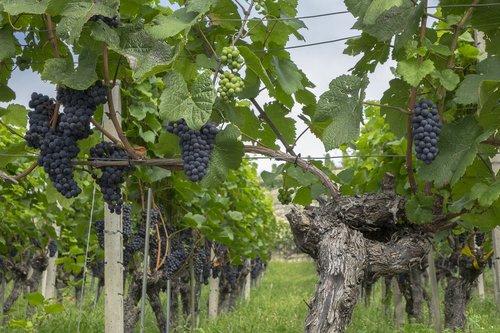 grapes  vine  fruit