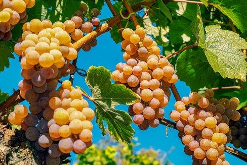 grapes  fruit  ripe