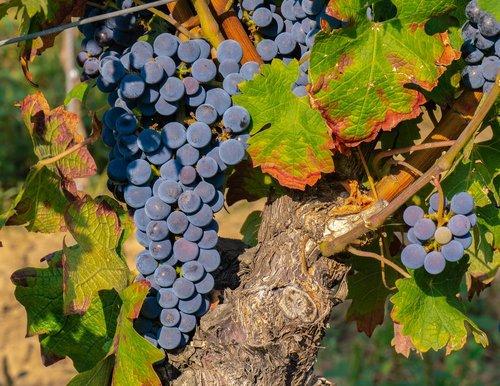 grapes  vine  grapevine