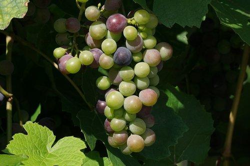grapes  fruits  grapevine