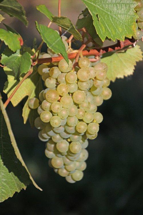 grapes  read  vine
