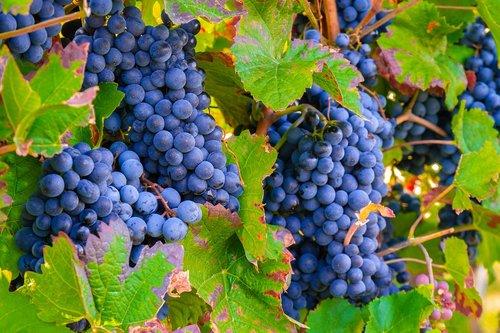 grapes  vine  vines