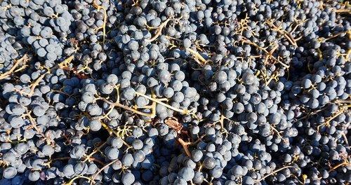 grapes  harvest  read
