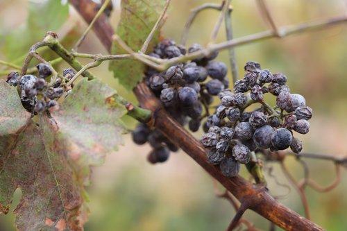 grapes  vintage  ice wine