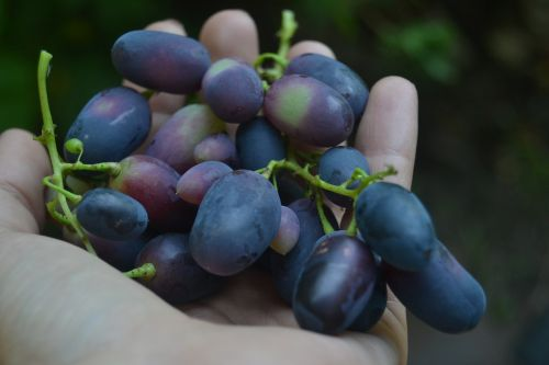 grapes food hand