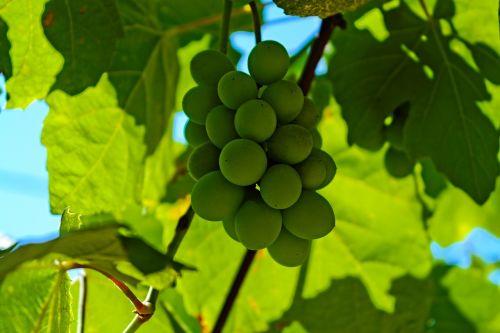 grapes sour grapes vineyard