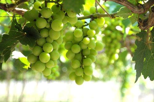grapes  vineyard  ninh thuan