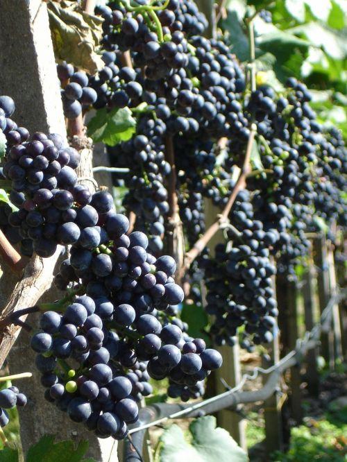 grapes plant wine