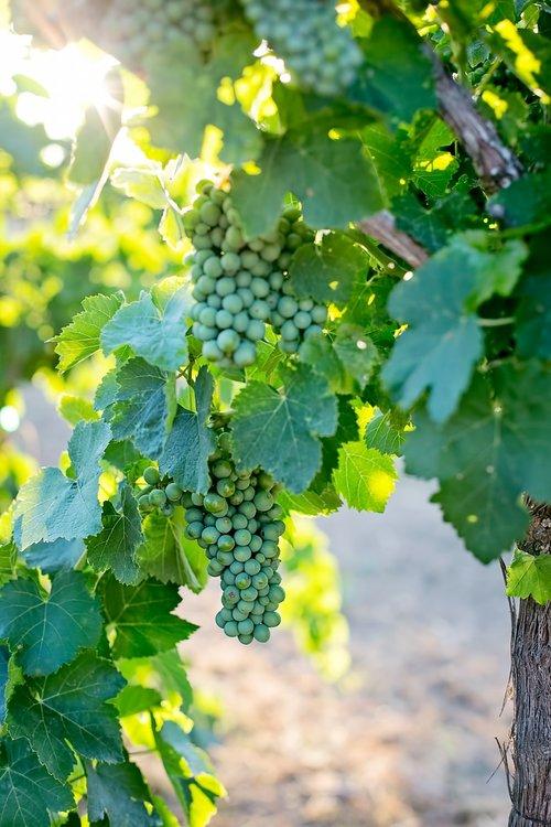 grapes  unripe  unripened