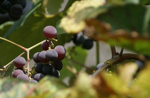 grapes group fruit