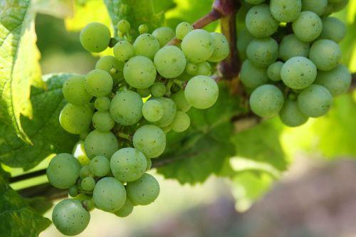 grapes green grapes nature