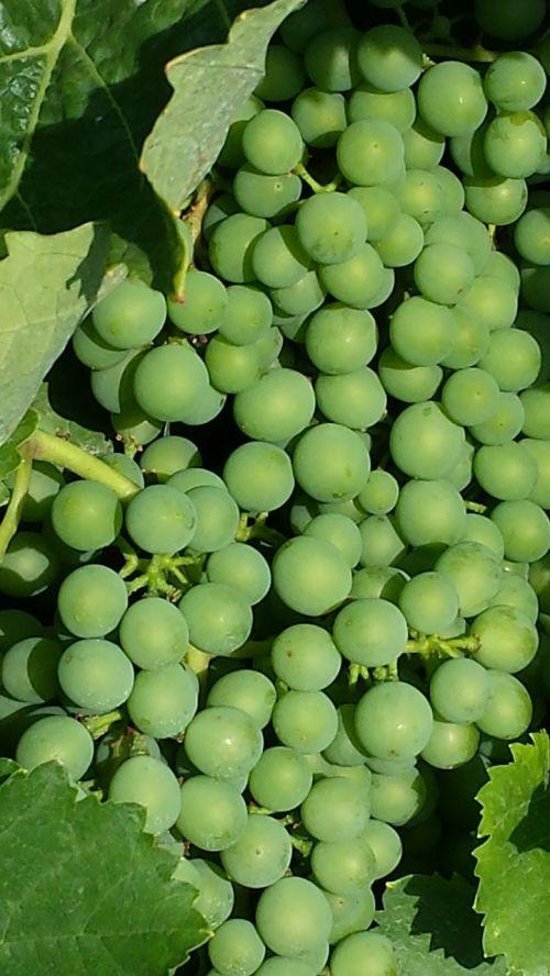 grapes new wine immature