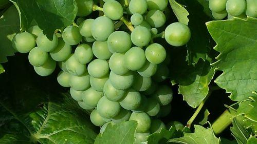 grapes green fruit