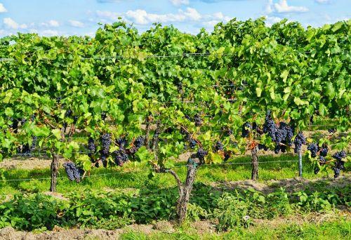 grapes palatinate wine