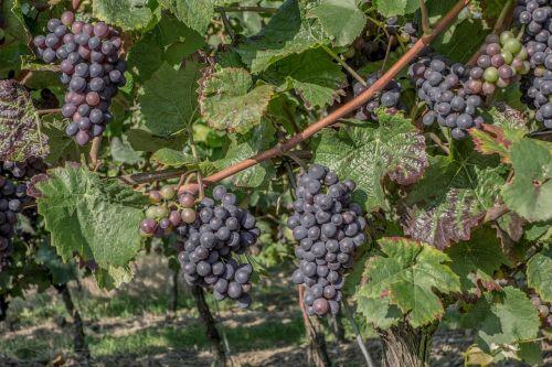 grapes vintage vineyard