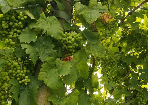 grapes vines lush