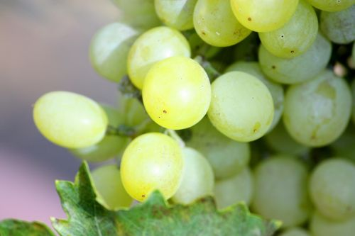 grapes bunch white
