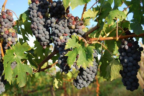 grapes tuscany red wine