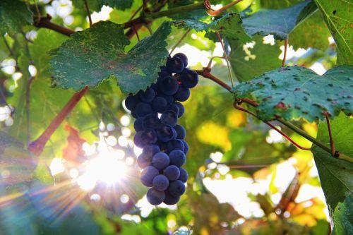 grapes sun sonnengereift