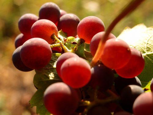 grapes vines wine