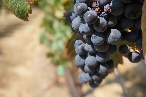 grapes vine grape
