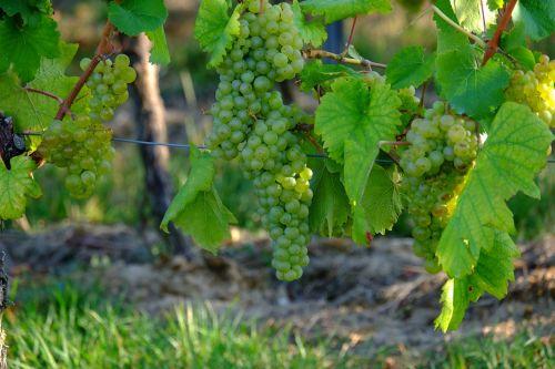 grapes white grapes wine