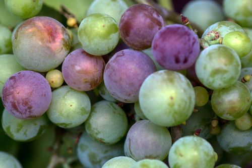 grapes macro immature