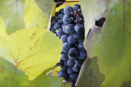 grapes vineyard wine