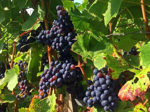 grapes vineyard rebstock