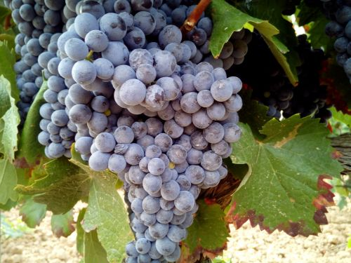 grapes vineyards wine