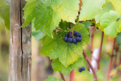 grapes vine pinot noir