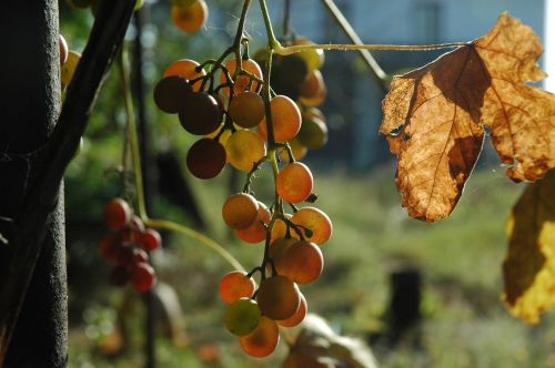 grapes autumn fruit