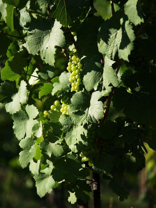 grapevine the grapes creeper