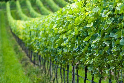 grapevine nature vines