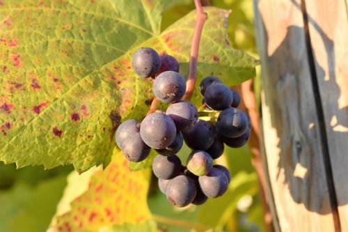 grapevine leaves plant